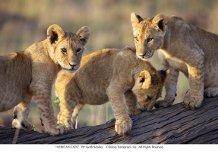 """""""Lion Cubs"""""""