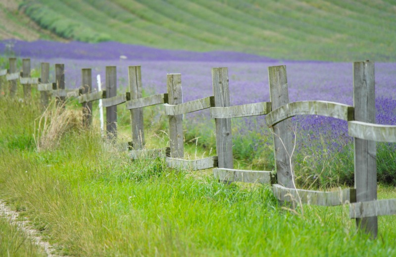 Swathes of gorgeous purple at Hitchin Lavender Farm