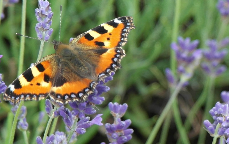 Bees and butterflies at Hitchin Lavender Farm