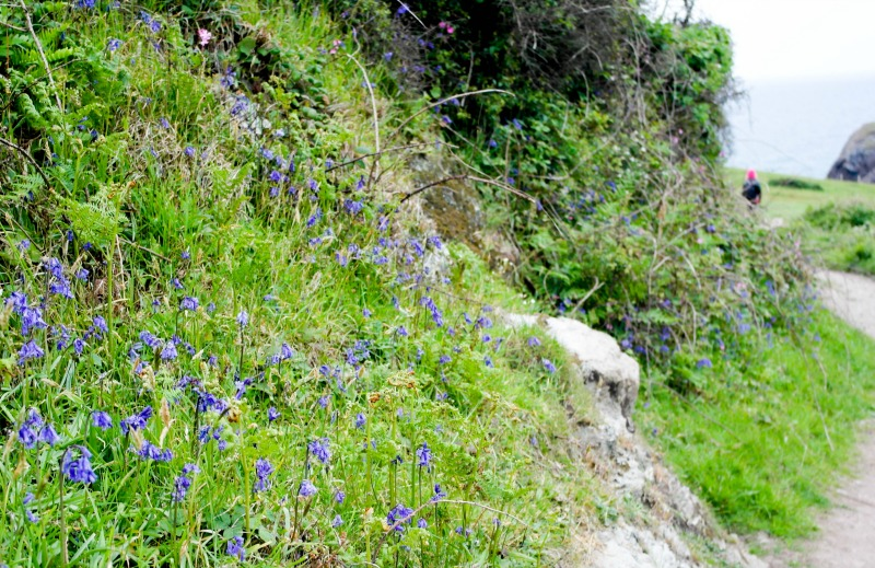 Bluebells on the hill at Soar Mill Cove