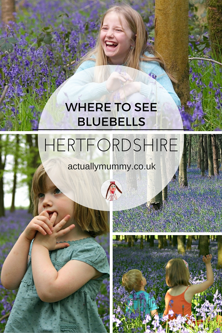 Where to see Bluebells in Hertfordshire - we've highlighted the 5 top places in Herts to find Spring bluebells