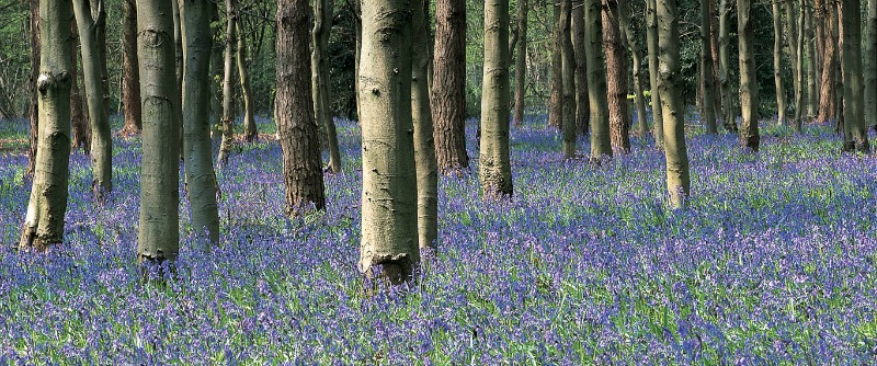 Where to see bluebells in Hertfordshire - the Grove Hotel has beautiful woodland full of bluebells. And beautiful afternoon tea too!