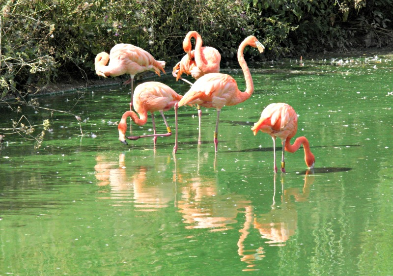 Do you know why flamingos are pink? We do, thanks to ZSL Whipsnade