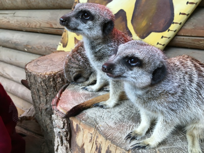 Meet the meerkat experience at Paradise wildlife park