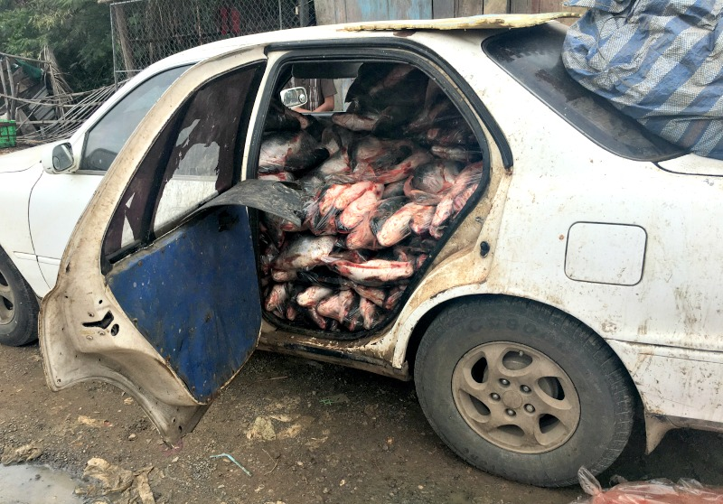 You will see all sorts of unusual sights in Cambodia. This car full of fish was on its way to market!